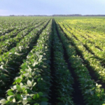 prevent Iron Deficiency Chlorosis